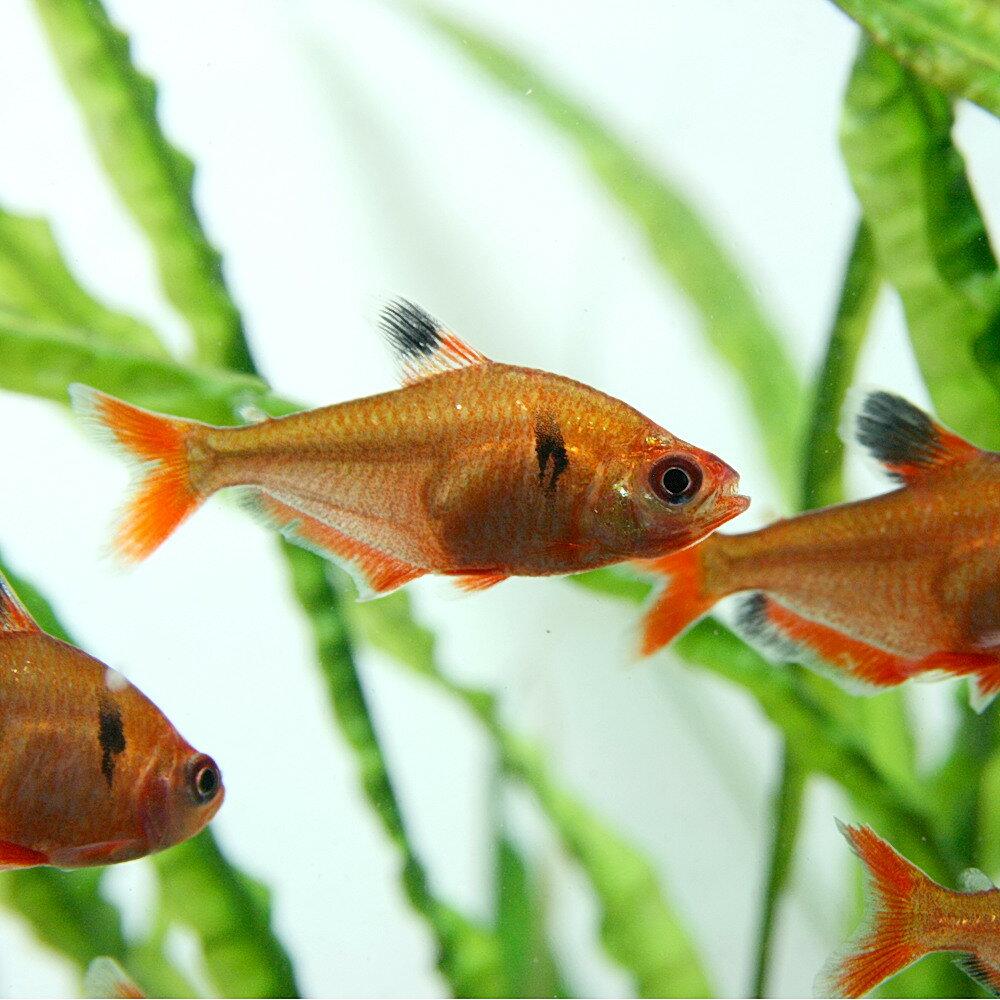 (熱帯魚 生体)ネオンサーペテトラ(約3cm)(1匹)【水槽/熱帯魚/観賞魚/飼育】【生体】【通販/販売】【アクアリウム/あくありうむ】