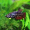 水槽 熱帯魚 ▼ベタ トラディショナル メス(色おまかせ)(約3cm)<3匹>