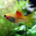 (熱帯魚)レッドトップゴールデンプラティ(約3-3.5cm)(6匹)【水槽/熱帯魚/観賞魚/飼育】【生体】【通販/販売】【アクアリウム】