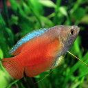 (熱帯魚)オレンジドワーフグラミー (約4cm)<1ペア>【水槽/熱帯魚/観賞魚/飼育】【生体】【通販/販売】【アクアリウム】