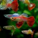 (熱帯魚)( オススメ)ミックスグッピー (外国産) (約3cm)(10ペア)【水槽/熱帯魚/観賞魚