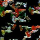 (熱帯魚)( オススメ)ミックスグッピー (外国産) (約3cm)(100ペア)【水槽/熱帯魚/観賞魚/飼育】【生体】【通販/販売】【アクアリウム】