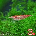 (エビ)レッドチェリーシュリンプ(約1.5cm)<3匹>【水槽/熱帯魚/観賞魚/飼育】【生体】【通販/販売】【アクアリウム】