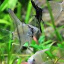 (熱帯魚 生体)国産 ミックスエンゼルフィッシュ(約1.5-3cm)(5匹)【水槽/熱帯魚/観賞魚/飼育】【生体】【通販/販売】【アクアリウム】