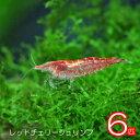 (エビ)レッドチェリーシュリンプ(約1.5cm)<6匹>【水槽/熱帯魚/観賞魚/飼育】【生体】【通販/販売】【アクアリウム】