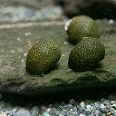 (貝)石巻貝(-)(20匹)【水槽/熱帯魚/観賞魚/飼育】【生体】【通販/販売】【アクア