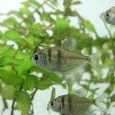 (熱帯魚 生体)ブラックテトラ(約2cm)(3匹)【水槽/熱帯魚/観賞魚/飼育】【生体】【通販/販売】【アクアリウム】