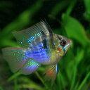 (熱帯魚 生体)バルーンラミレジィ(約2.5-3cm)(1匹...