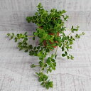 【 母の日 GW 限定 クーポン!】ミニ 観葉植物 ペペロミア デピーナ 2号 小さい かわいい おしゃれ インテリア グリーン 卓上 棚 室内 苗 ギフト プレゼント 贈り物