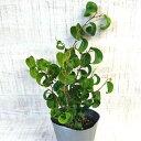 ミニ 観葉植物 フィカス バロック 3号 小さい かわいい おしゃれ インテリア グリーン 卓上 棚 室内 苗 ギフト プレゼント 贈り物