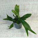 ミニ 観葉植物 コウモリラン ビカクシダ ネザーランド 3号 小さい かわいい おしゃれ インテリア グリーン 卓上 棚 室内 苗 ギフト プレゼント 贈り物