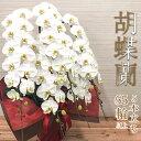 胡蝶蘭 白大輪 5本立 65輪 (蕾含) お祝い フラワー ...
