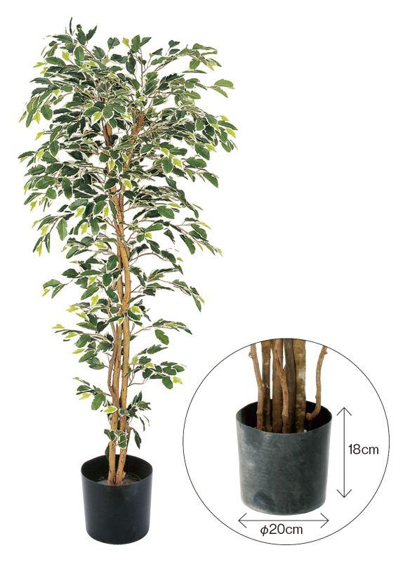 GLPS-1320W ベンジャミンフィカス ハワイアン 1.5m ポット付き ホワイト @14700×1個 《2016ydm》 花・ガーデン・DIY インテリアグリーン 観葉植物
