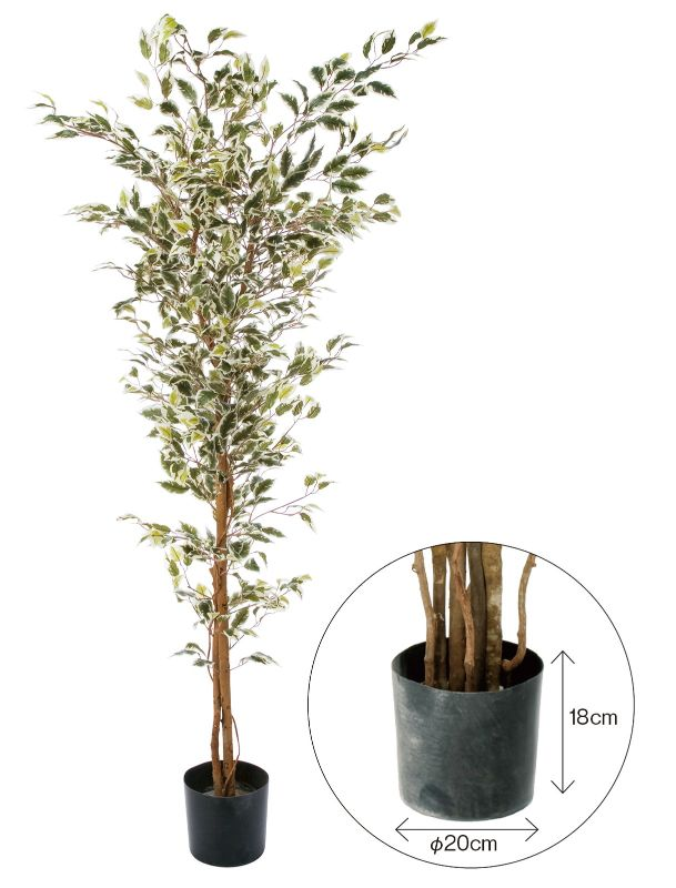 GLPS-1310W ベンジャミンフィカス ハワイアン 1.8m ポット付き ホワイト @16500×1個 《2016ydm》 花・ガーデン・DIY インテリアグリーン 観葉植物