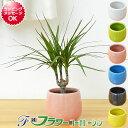 【送料無料】ミニ観葉植物 ドラセナ・コンシンネ陶器鉢付き(ハイドロカルチャー)