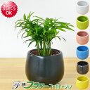 【送料無料】ミニ観葉植物 テーブルヤシ陶器鉢付き(ハイドロカルチャー)