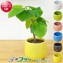 【送料無料】ミニ観葉植物 フィカス・ウンベラータ陶器鉢付き(ハイドロカルチャー)