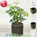 【送料無料】ミニ観葉植物 ホンコンカポックハイドロカルチャースタイリッシュ陶器鉢付き