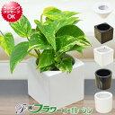 【送料無料】ミニ観葉植物 ポトス ハイドロカルチャースタイリッシュ陶器鉢付き