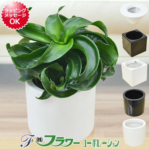 【送料無料】ミニ観葉植物 ドラセナ・コンパクタ・トルネード ハイドロカルチャースタイリッシュ陶器鉢付き