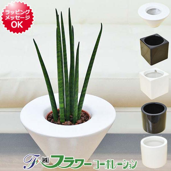送料無料ミニ観葉植物サンスベリア・バキュラリスハイドロカルチャースタイリッシュ陶器鉢付き