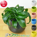 【送料無料】ミニ観葉植物 ドラセナ・コンパクタ・トルネード陶器鉢付き(ハイドロカルチャー)