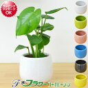 【送料無料】ミニ観葉植物 モンステラ陶器鉢付き(ハイドロカルチャー)