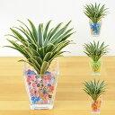 【送料無料】ミニ観葉植物 ドラセナ・コンパクタ(斑入り) スクエアガラスゼリー植え