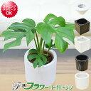 【送料無料】ミニ観葉植物 ヒメモンステラ ハイドロカルチャースタイリッシュ陶器鉢付き