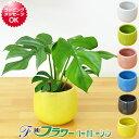 【送料無料】ミニ観葉植物 ヒメモンステラ陶器鉢付き(ハイドロカルチャー)