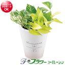 観葉植物ポトス 3種寄せ植え ブリキポット