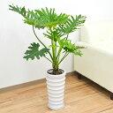 観葉植物 フィロデンドロン・セローム・ホープ 幹上がり ラウンド陶器鉢植え