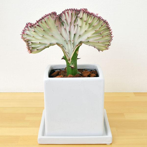 【送料無料】多肉植物 ユーフォルビア・ラクテア・...の商品画像
