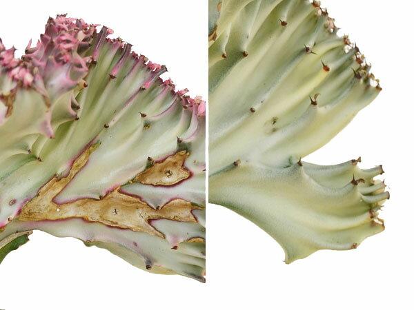 【送料無料】多肉植物 ユーフォルビア・ラクテア...の紹介画像3