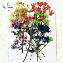 【S-522】着色アケボノソウ茎付き10本押し花額やレジンアクセサリー制作などハンドメイド素材として