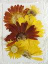 【S-216】ガーベラミックス(黄色系)5枚【飛騨】【山野草の押し花】【押し花パック】【押し花素材】【手作り】【キット】