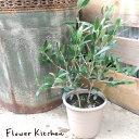 【送料無料】(観葉)『オリーブ5号鉢 品種指定:ミッション 』『 セラート鉢でお届けします 』【オリーブ】 観葉植物 オリーブの木 苗木 鉢植 販売 誕生日 祝 FKTK