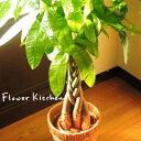 【5,000円税別 SALE 】観葉植物 パキラ の 鉢植え7号鉢 選べる観葉植物 【カゴ付き】