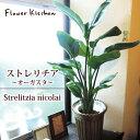 『 ストレリチア 7号鉢 オーガスタ 』Strelitzia nicolai/ニコライ/Streli
