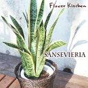 空気清浄効果のある植物・サンスベリア★とても丈夫です。冬は水やりなしで完全断水でOK。初心者にも簡単安心の植物です