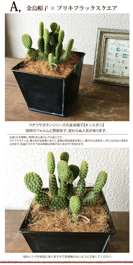 (観葉)『 選べるサボテン 金烏帽子 or 墨...の紹介画像3