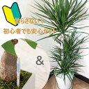 【あす楽】初心者でも安心!観葉植物 ドラセナ コンシンネ 8...