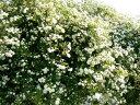 バラ白いバラで、清楚なホワイトガーデンを★モッコウバラ【ホワイト】 3号ポット