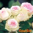ツル.ミミ エデン【京成バラ園】人気品種『ミミ エデン』のツルタイプ♪花もちもよく、育てやすい品種です!【京成バラ園】【クライミングローズ(つるバラ)】