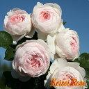 クリスティアーナ【京成バラ園】香り豊かな優しい色合いのお花を咲かせますうどんこ病・黒星病に強い品種です【京成バラ園】【クライミングローズ(つるバラ)】