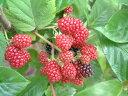 ラズベリーの苗 【ポラナ】3号ポット7月と8月下旬の2度成りとなる豊産性早生品種!たっぷりと収穫が楽しめます♪甘酸っぱい♪自宅の庭でおいしいフルーツ栽培しませんか? フルーツ 果樹苗 フランボワーズ 家庭菜園