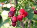 ジューンベリー【ラ・マルキー】ジャムや果実酒にどうぞ♪秋には見事な紅葉も楽しめます!!ジューンベリー 5号鉢