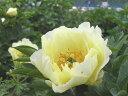 シャクヤク珍しい、黄色の花色です。華やかな黄色がお庭を明るくしてくれます♪高級シャクヤク オリエンタルゴールド 4号ポット 【芍薬】