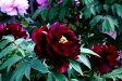 牡丹  皇嘉門 暗紫紅色に細く白覆輪が映える千重咲き♪その名のごとく、重厚感のある花姿牡丹 皇嘉門 【黒花系ボタン】 【二年生苗】