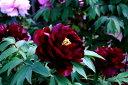 牡丹 皇嘉門 暗紫紅色に細く白覆輪が映える千重咲き♪その名のごとく、重厚感のある花姿牡丹皇嘉門 【黒花系ボタン】【二年生苗】